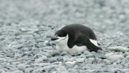 Stock Video Footage of Antarctica, Chinstrap Penguin Resting