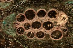 microscopy micrograph plant tissue, stem of pumpkin - stock photo