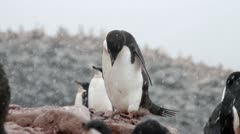 Antarctica, Adelie Penguin Colony CU - stock footage