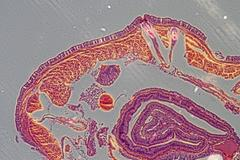 Micrograph earthworm crosscutting Stock Photos