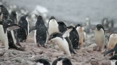 Antarctica, Adelie Penguin Colony, Baby Feeding MS Stock Footage