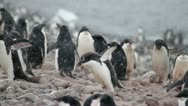 Antarctica, Adelie Penguin Colony, Baby Feeding MS Stock Footage
