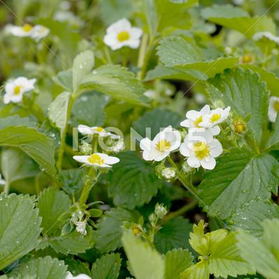Stock photo of strawberry flowers