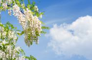 Blooming acacia Stock Photos