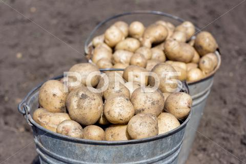 Stock photo of two buckets with potatoes
