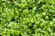 Green parsley Stock Photos