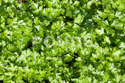 Stock photo of green parsley