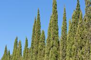 Green cypress Stock Photos
