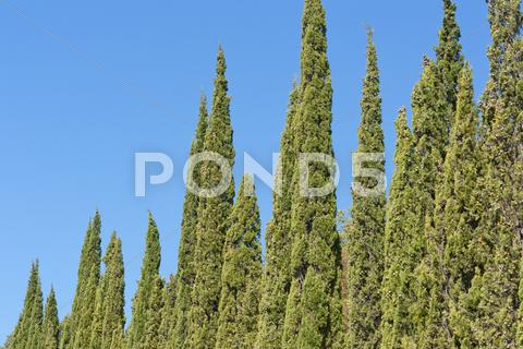 Stock photo of green cypress