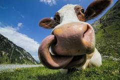 Cow closeup and Big Tongue - stock photo