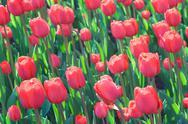Flowering tulips Stock Photos