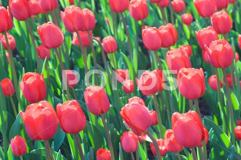 Stock photo of flowering tulips