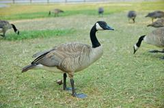 A single Canadian goose on grass Stock Photos