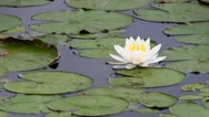 Stock Video Footage of White lotus flower