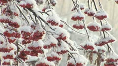 Mountain ash in snow Stock Footage