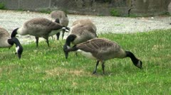 Geese grazing Stock Footage