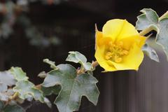 Yellow Flower - Flannel Bush Blossom - stock photo