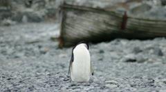 Antarctica, Chinstrap Penguin Preening Stock Footage