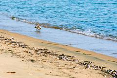 View of sea birds - sandpiper - looking for food during low tide in a  japane Stock Photos