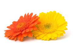beautiful daisy gerbera flowers - stock photo