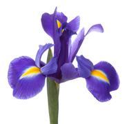 blue iris or blueflag flower - stock photo