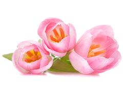 pink tulip - stock photo