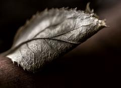 close up of a brown dying leaf - stock photo