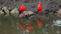 A pair of scarlet ibis at the river and a another one joins them. Stock Footage