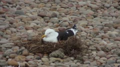 Seagull in a nest Stock Footage