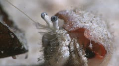 Marine Hermit Crab Extreme Close Up Stock Footage