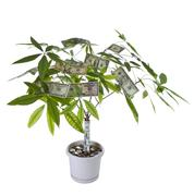 money tree in full bloom - stock photo