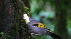 Chesnut-crowned laughingthrush at doi inthanon Stock Footage