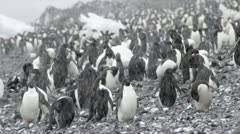 Antarctica, Adelie Penguin Colony MS Stock Footage
