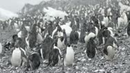 Stock Video Footage of Antarctica, Adelie Penguin Colony MS