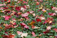 fallen maple leaves - stock photo