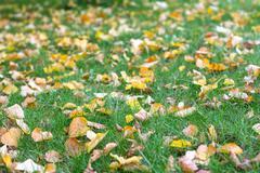 fallen linden leaves - stock photo