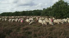 Flock of Veluwe Heath Sheep grazing heath field 01p Stock Footage