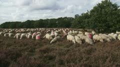 Flock of Veluwe Heath Sheep grazing heath field 01i Stock Footage