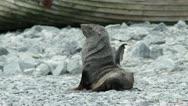 Antarctica, Antarctic Fur Seal Stock Footage