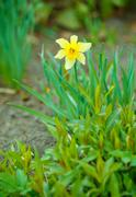 bright daffodil - stock photo