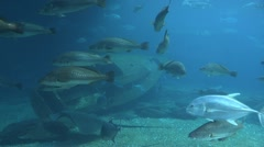 The stingray swimming off Stock Footage