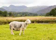 sheep in front of langdale pikes in lake district - stock photo