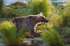 Bear on alaska Stock Photos