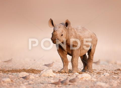 Stock photo of black rhinoceros baby