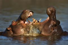 fighting hippo's - stock photo