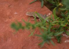 Gecko lizard on red rock behind greenery for hiding Stock Photos