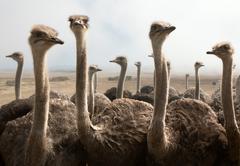 Ostrich heads Stock Photos