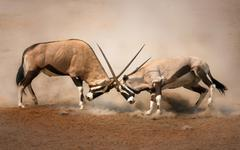 gemsbok fight - stock photo