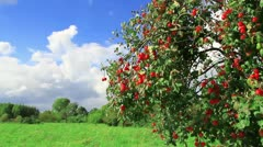 Apple tree with ripe apples Stock Footage