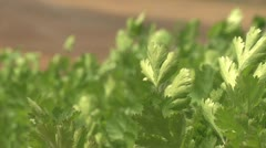 Cilantro closeup as it grows in the sun - stock footage